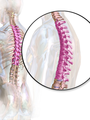 Thoracic Spine.png