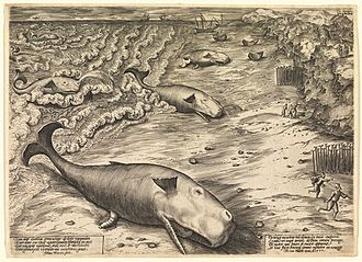 "Cetacean stranding - Three Beached Whales, a 1577 engraving by the Flemish artist Jan Wierix, depicts stranded Sperm Whales.  Note the incorrectly recorded ""nostril"" and correctly extruded penis."