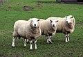 Three sheep in a row - geograph.org.uk - 668194.jpg