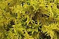 Thuidium tamariscinum (25103347465).jpg