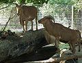 Tiergarten Worms Mähnenspringer Ammotragus lervia.JPG