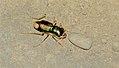 Tiger Beetle (Megacephala euphratica) (35730269794).jpg