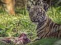 Tiger Cub eating (18065408813).jpg