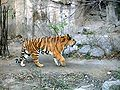 Tiger in beijng zoo1.JPG