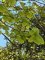 Tilia platyphyllos(02).jpg