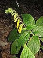 Titanotrichum oldhamii 4.JPG