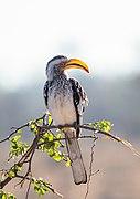 Toco piquigualdo sureño (Tockus leucomelas), parque nacional Kruger, Sudáfrica, 2018-07-26, DD 13.jpg