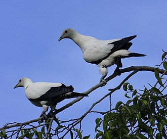 Torresian imperial pigeon - Image: Torresian imp pigeon cairns 09