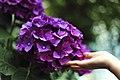Touching purple hydrangea (Unsplash).jpg