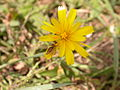 Toxomerus marginatus on Krigia biflora (5036888156).jpg