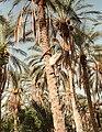 Tozeur Palmtree.jpg