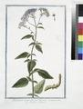 Trachelium azzureum, umbelliferum - Trachelio, o Uvularia. (Wild flower) (NYPL b14444147-1125044).tiff