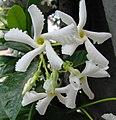 Trachelospermum jasminoides1pizzodisevo.jpg