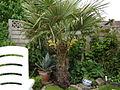 Trachycarpus fortunei in Braunschweig.jpg