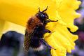 Tree bumblebee (Bombus hypnorum).jpg