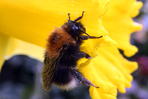 Bombus hypnorum - Image: Tree bumblebee (Bombus hypnorum)