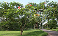 Tree with pods & flowers I IMG 8689.jpg