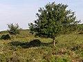Trees in Black Gutter Bottom, New Forest - geograph.org.uk - 467885.jpg