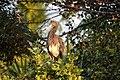 Tricolored Heron (40197144980).jpg