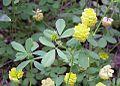 Trifolium amarillo en Canarias.jpg