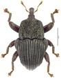 Trigonopterus deplanatus Riedel, holotype.tif