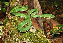 Trimeresurus popeorum