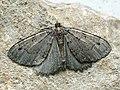 Triphosa dubitata - The Tissue - Пяденица сомнительная (27088648708).jpg