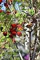 Tropaeolum tricolor BotGardMunich 20170225 E.jpg