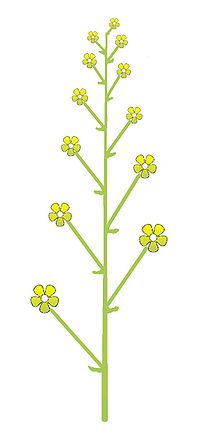 Grappe — Wikipédia Raceme Inflorescence