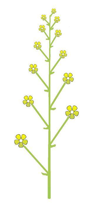 dessin de l'inflorescence en racême