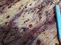 Trous de pyrite dans schistes rouges.jpg