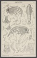 Tryphaena - Print - Iconographia Zoologica - Special Collections University of Amsterdam - UBAINV0274 006 03 0022.tif