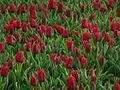 Tulip 1290142-2.jpg