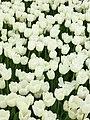 Tulip 1300252.jpg