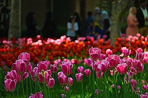 Tulips Festival Held in Iran's Karaj-16.jpg