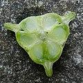 Tulpen Stempel Querschnitt.jpg