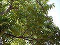 Tunna (Sanskrit- तुन्न) (4173604379).jpg