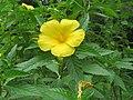 Turnera ulmifolia - Yellow Alder at Peravoor (2).jpg