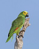 A green parrot with red-tipped wings, a yellow face and forehead, and light-blue marks above the beak