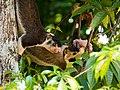 Two Giant squirrels eating custard apple, Sri Lanka.jpg