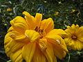 Two unknown Helianthus flowers.jpg