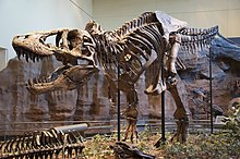 Tyrannosaurus skeleton in museum display