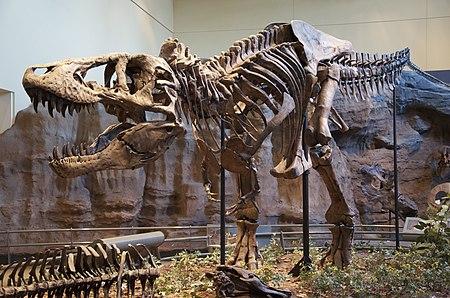 Tyrannosaurus Rex Holotype.jpg