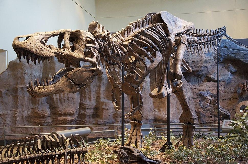 Tyrannosaurus skeleton in museum display