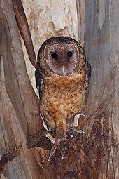 Tasmanian masked owl - Wikipedia - photo#2