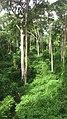 Une population du Faut Iroko dans la forêt relique de Niaouli.jpg