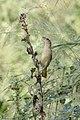 Unidentified bird 3892 (32103665698).jpg