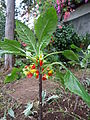 Unknown plant - Madeira - DSC08016.JPG