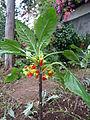 Unknown plant - Madeira - DSC08016.JPG