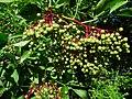Unreife Früchte schwarzer Holunder.JPG